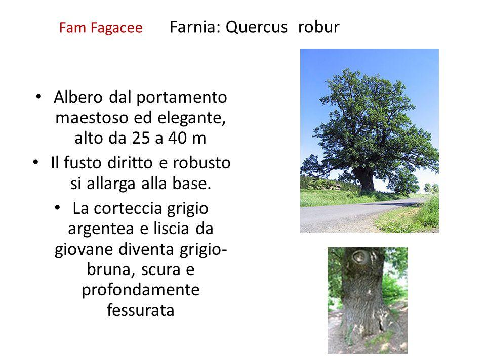 Fam Fagacee Farnia: Quercus robur