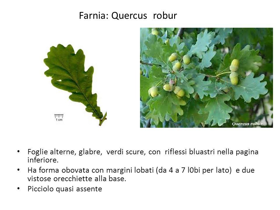 Farnia: Quercus robur Foglie alterne, glabre, verdi scure, con riflessi bluastri nella pagina inferiore.