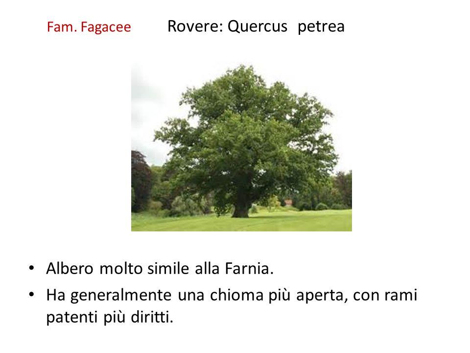 Fam. Fagacee Rovere: Quercus petrea