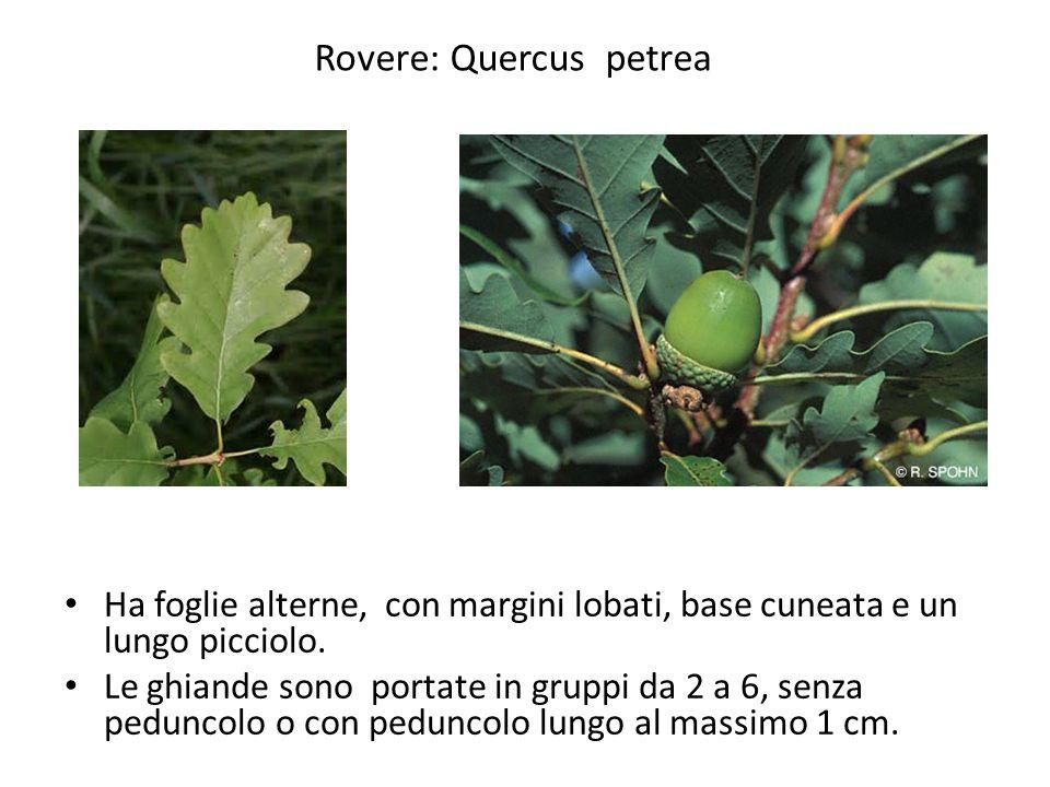 Rovere: Quercus petrea
