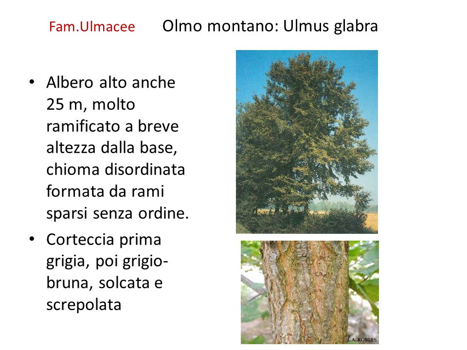 Fam.Ulmacee Olmo montano: Ulmus glabra