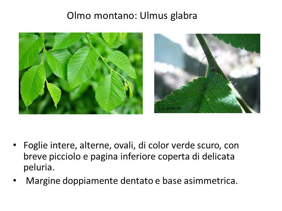 Olmo montano: Ulmus glabra