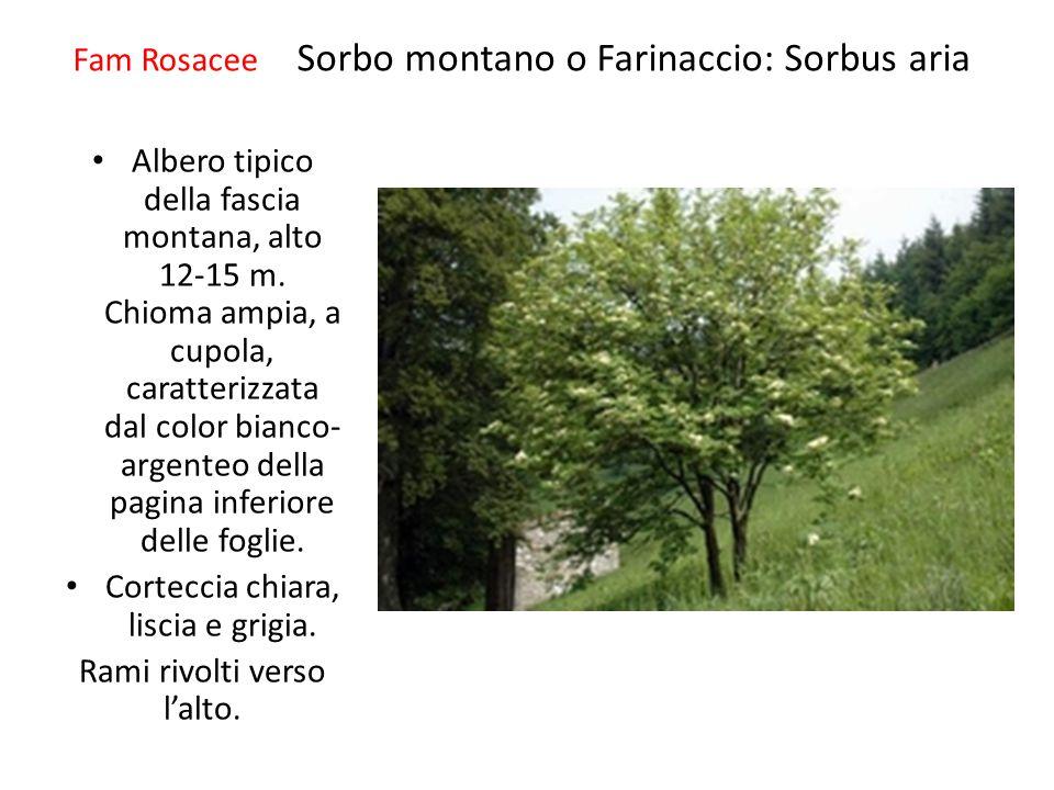 Fam Rosacee Sorbo montano o Farinaccio: Sorbus aria