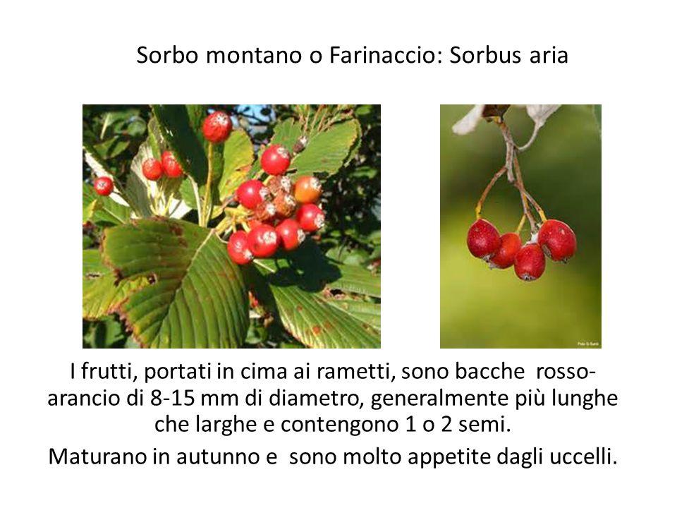 Sorbo montano o Farinaccio: Sorbus aria