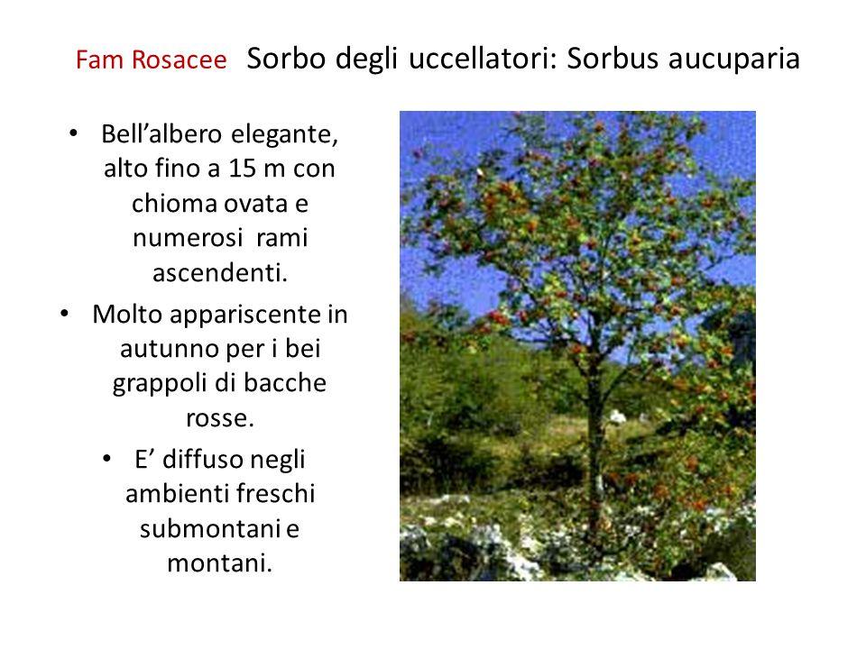 Fam Rosacee Sorbo degli uccellatori: Sorbus aucuparia