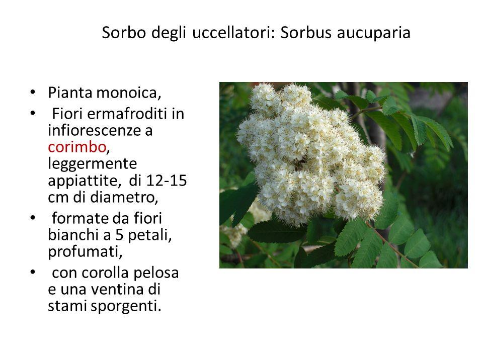 Sorbo degli uccellatori: Sorbus aucuparia