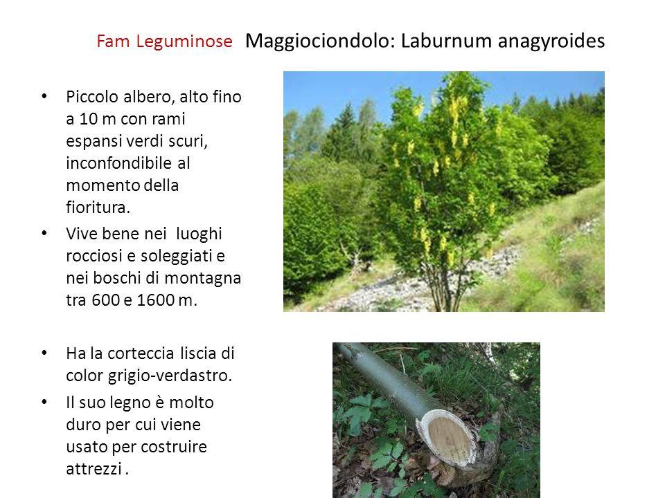 Fam Leguminose Maggiociondolo: Laburnum anagyroides