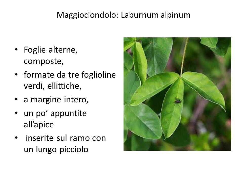 Maggiociondolo: Laburnum alpinum