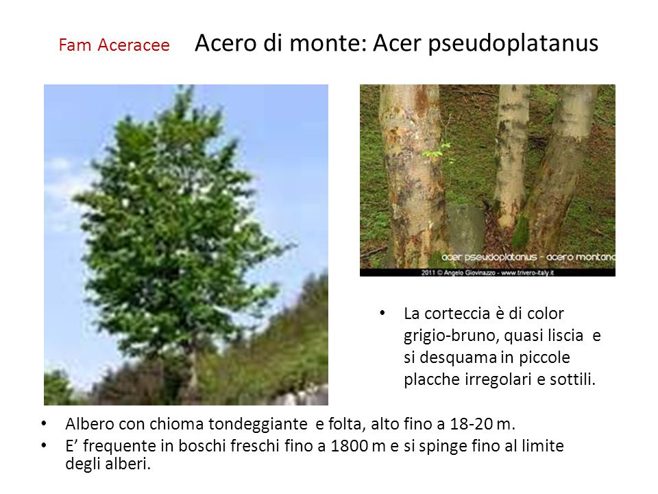 Fam Aceracee Acero di monte: Acer pseudoplatanus