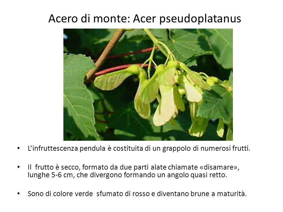 Acero di monte: Acer pseudoplatanus