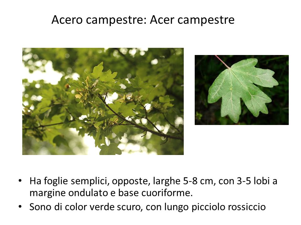 Acero campestre: Acer campestre
