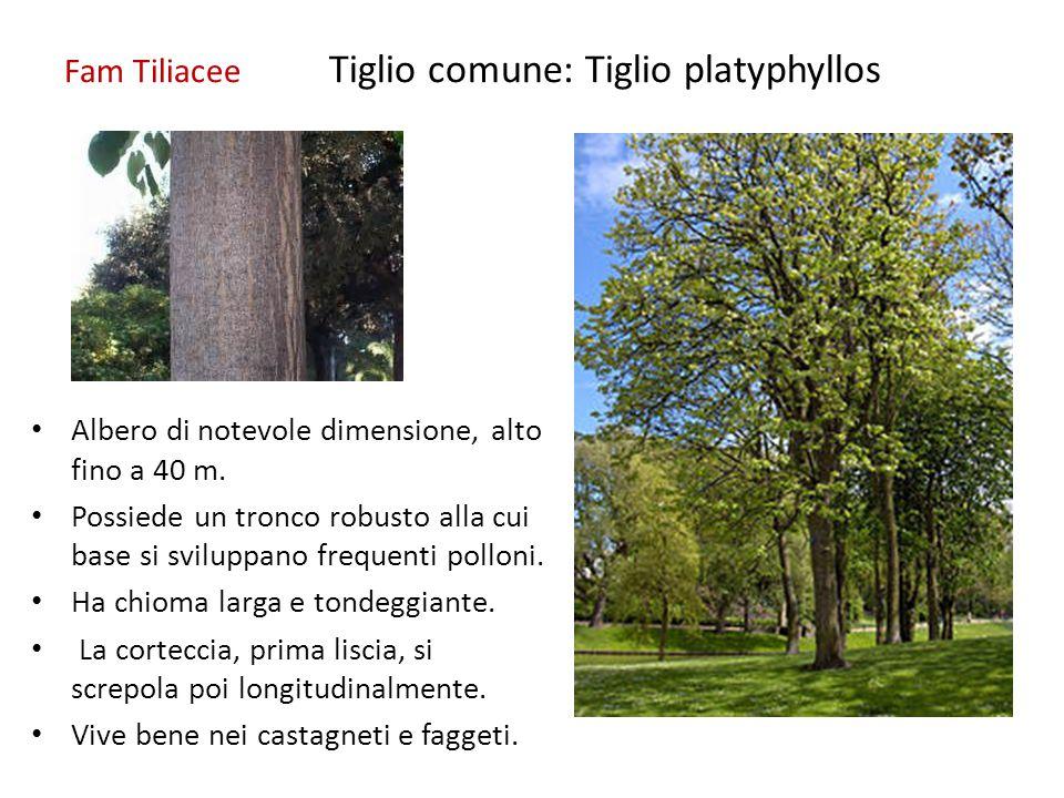 Fam Tiliacee Tiglio comune: Tiglio platyphyllos