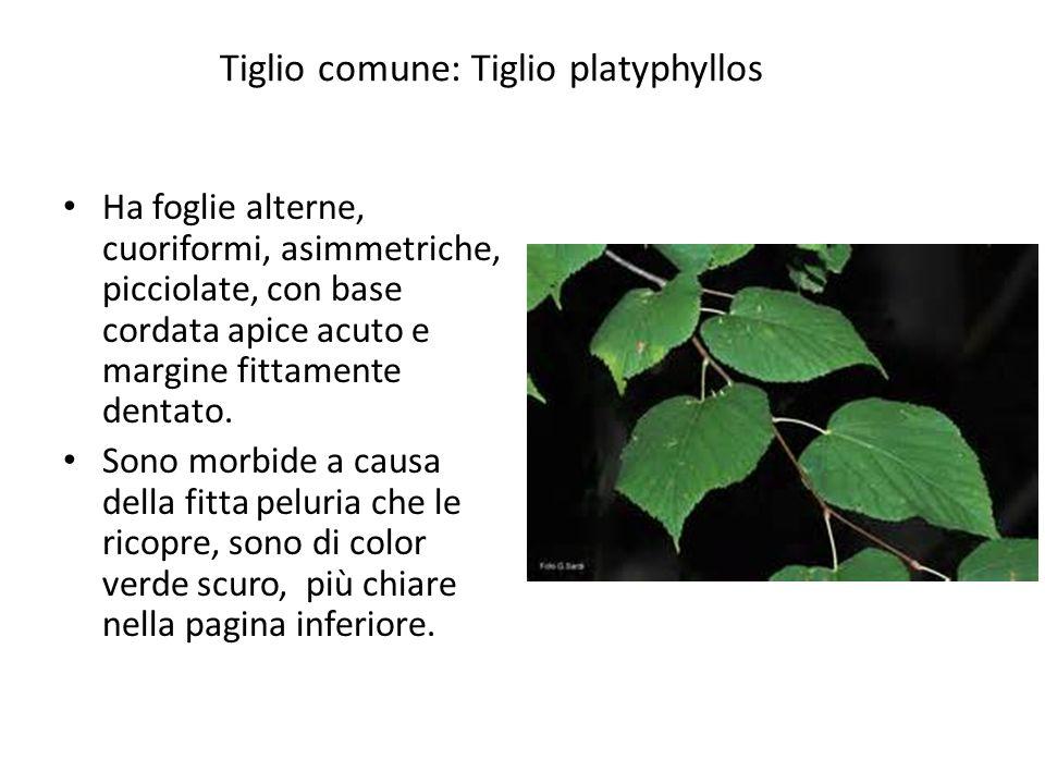 Tiglio comune: Tiglio platyphyllos