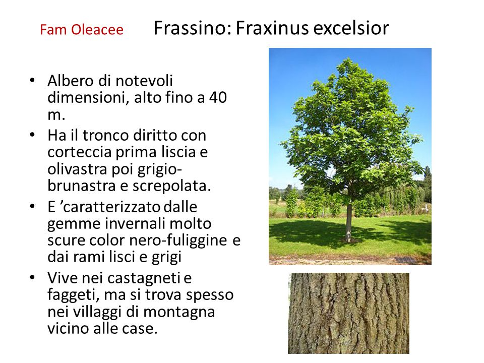Fam Oleacee Frassino: Fraxinus excelsior