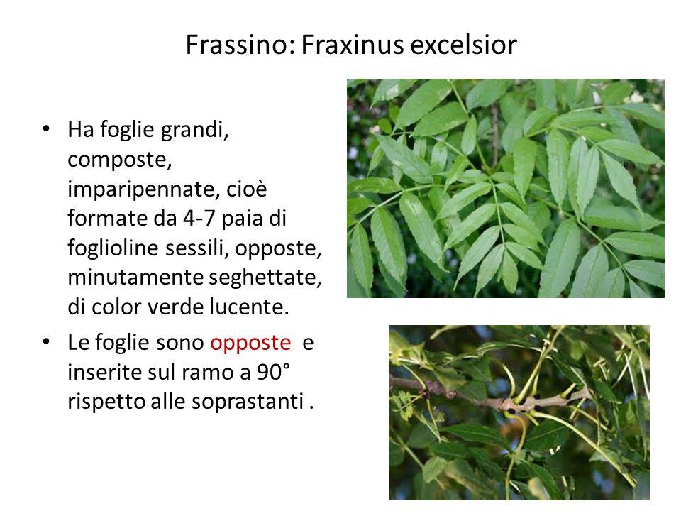 Frassino: Fraxinus excelsior