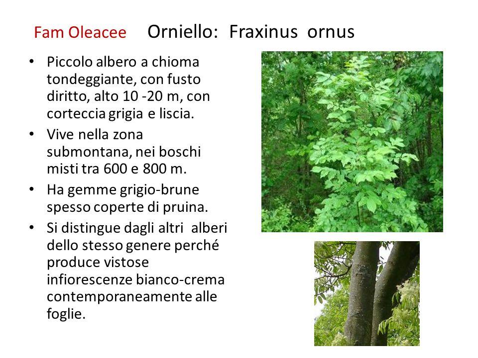 Fam Oleacee Orniello: Fraxinus ornus