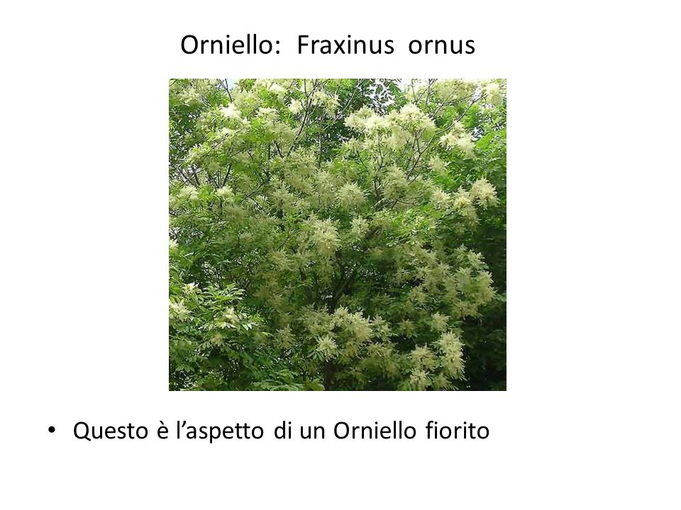 Orniello: Fraxinus ornus