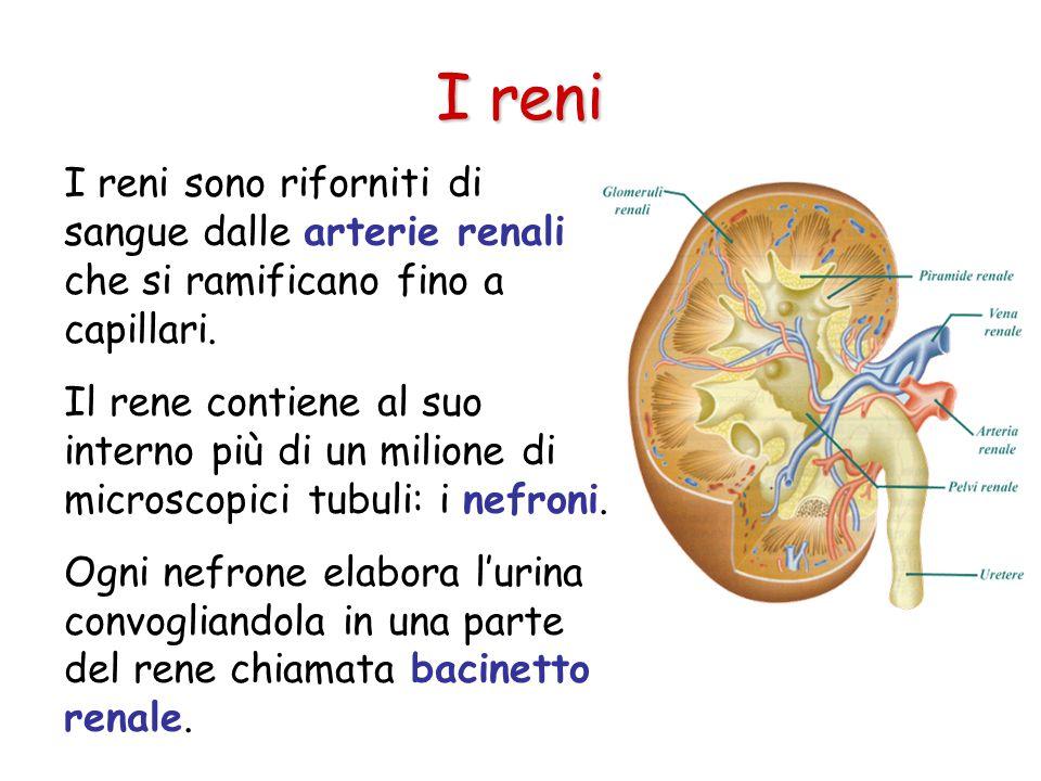 I reni I reni sono riforniti di sangue dalle arterie renali che si ramificano fino a capillari.
