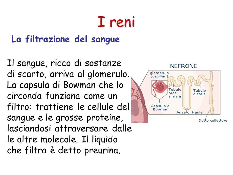 I reni La filtrazione del sangue