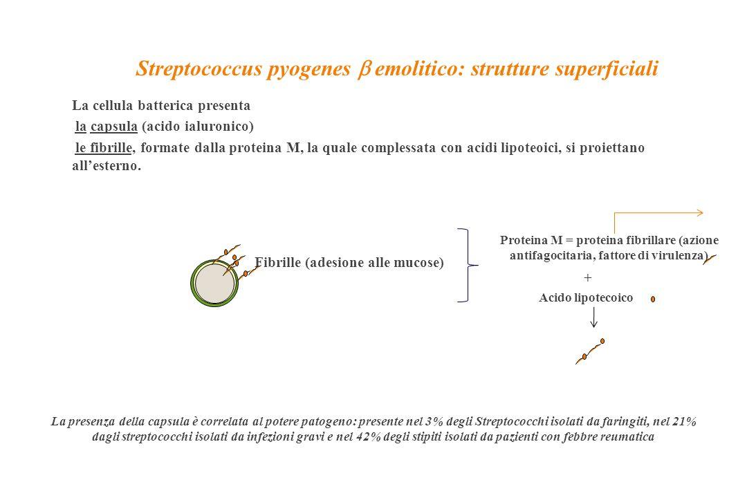 Streptococcus pyogenes b emolitico: strutture superficiali