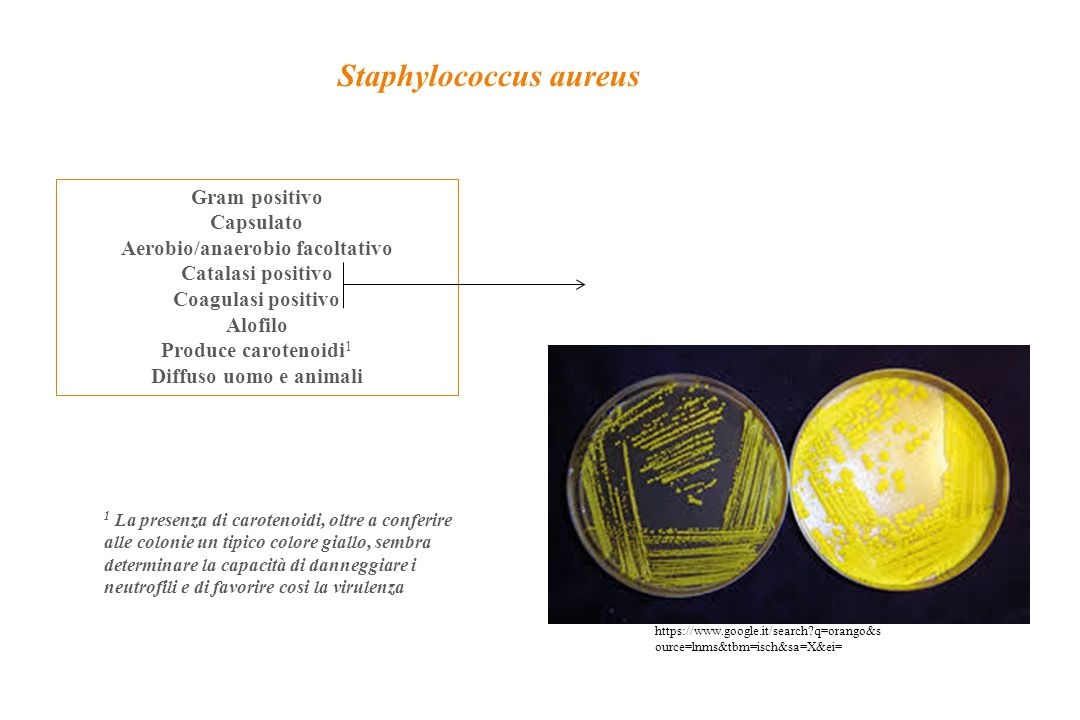 Staphylococcus aureus Aerobio/anaerobio facoltativo
