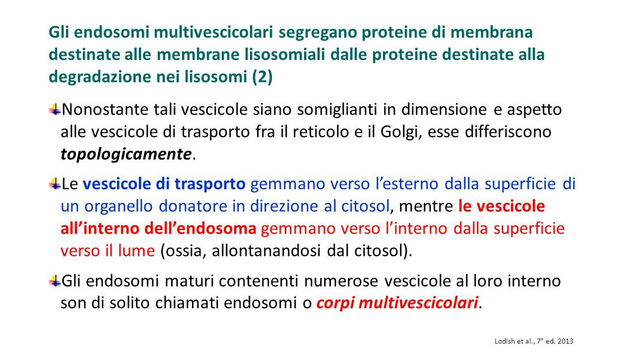Gli endosomi multivescicolari segregano proteine di membrana destinate alle membrane lisosomiali dalle proteine destinate alla degradazione nei lisosomi (2)