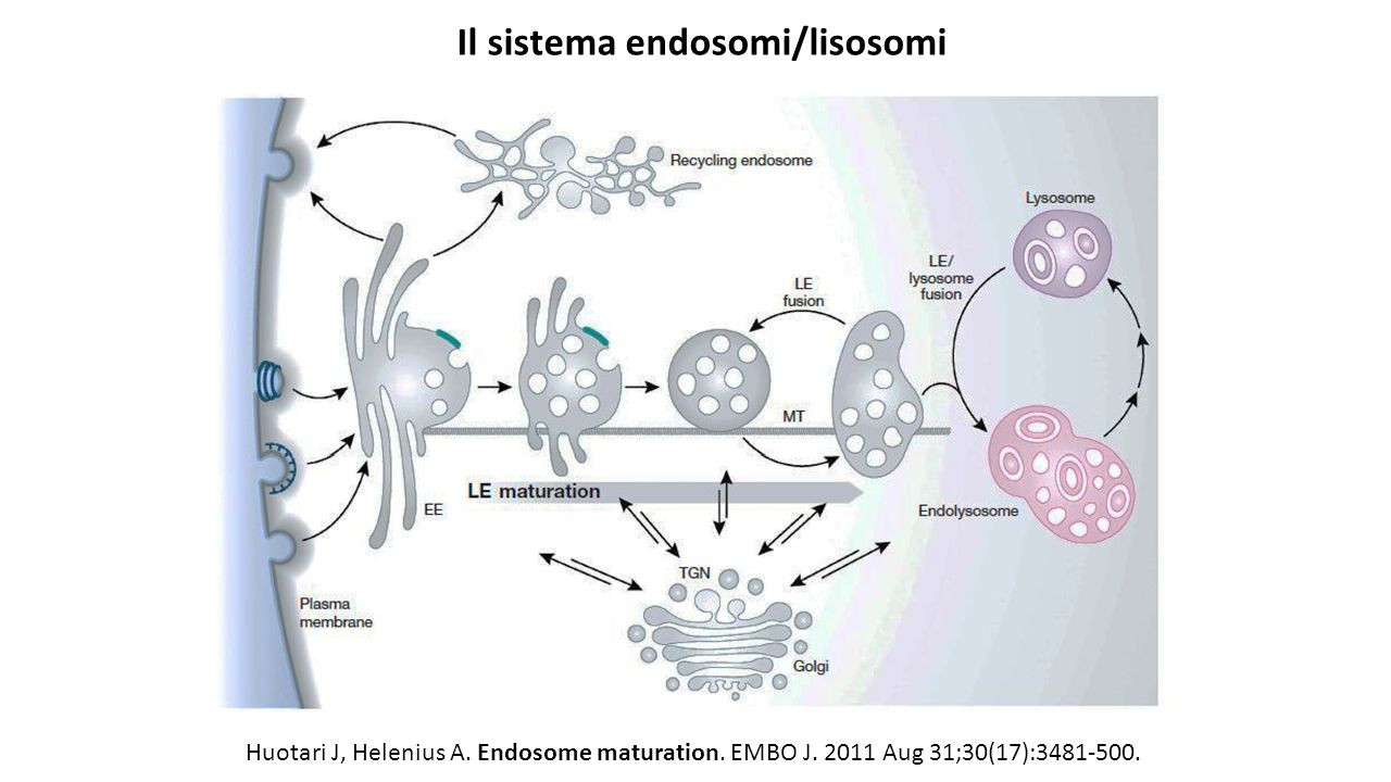 Il sistema endosomi/lisosomi