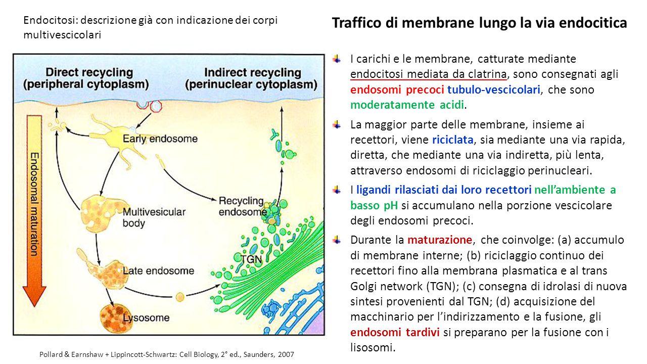 Traffico di membrane lungo la via endocitica