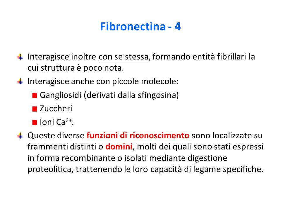 Fibronectina - 4 Interagisce inoltre con se stessa, formando entità fibrillari la cui struttura è poco nota.