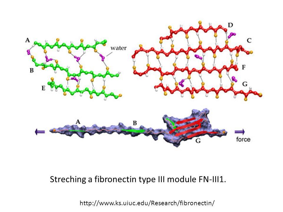 Streching a fibronectin type III module FN-III1.