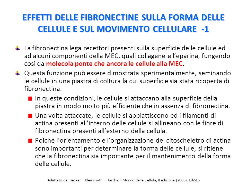 EFFETTI DELLE FIBRONECTINE SULLA FORMA DELLE CELLULE E SUL MOVIMENTO CELLULARE -1