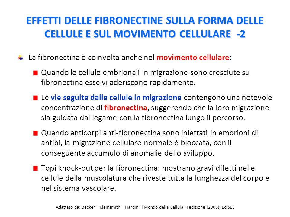 EFFETTI DELLE FIBRONECTINE SULLA FORMA DELLE CELLULE E SUL MOVIMENTO CELLULARE -2