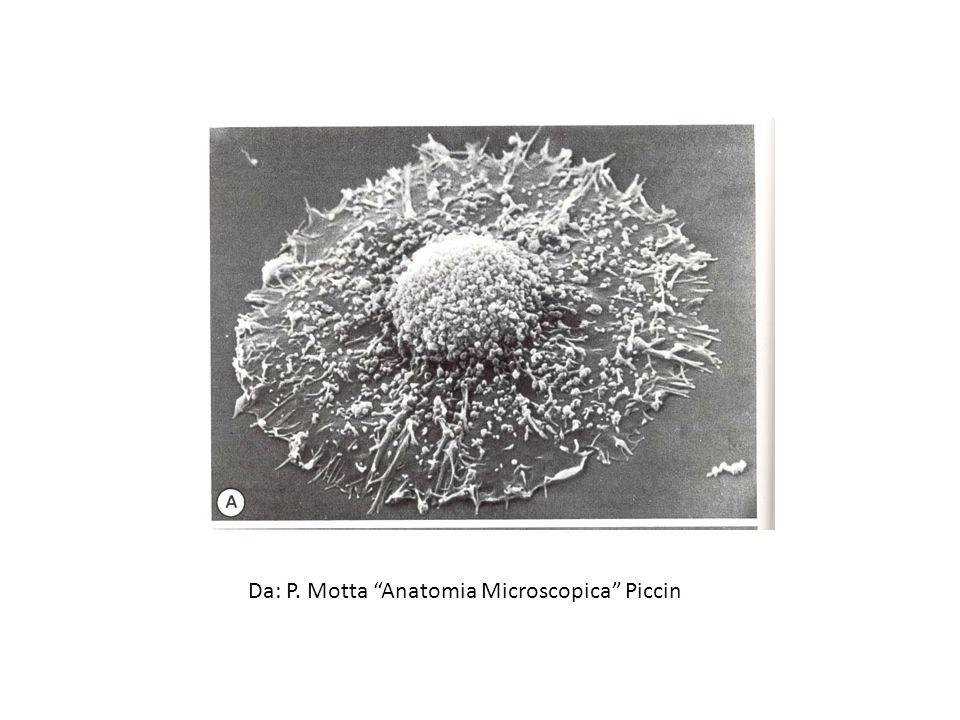 Da: P. Motta Anatomia Microscopica Piccin