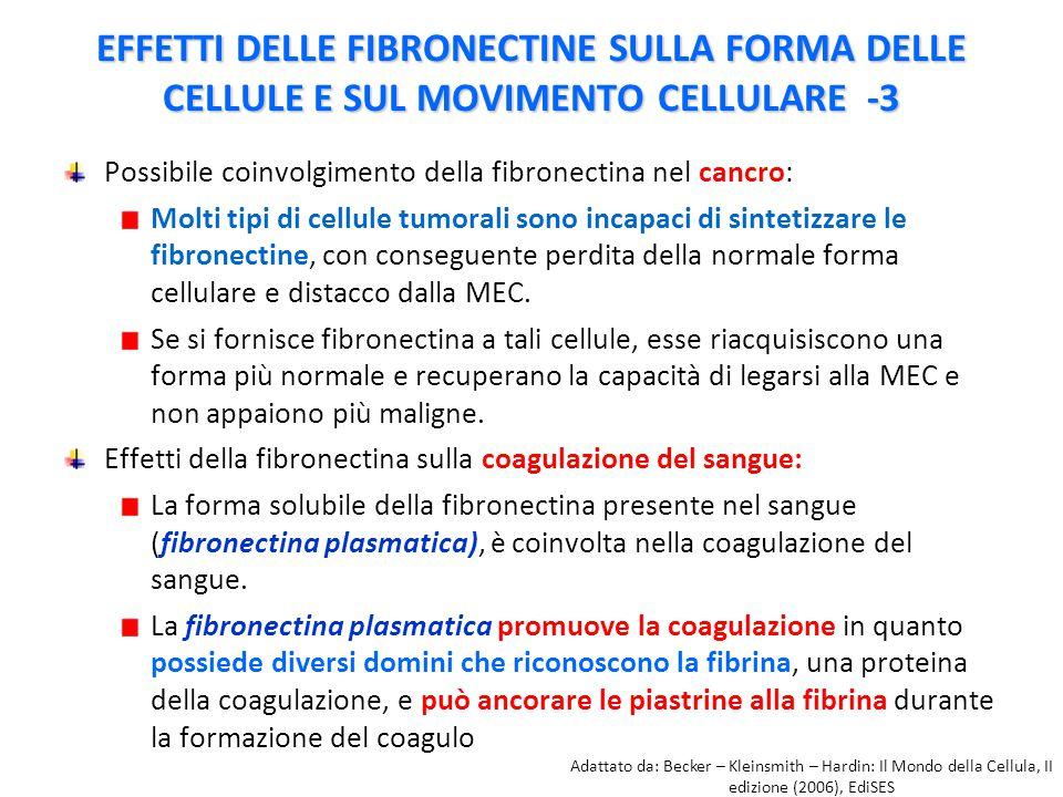 EFFETTI DELLE FIBRONECTINE SULLA FORMA DELLE CELLULE E SUL MOVIMENTO CELLULARE -3