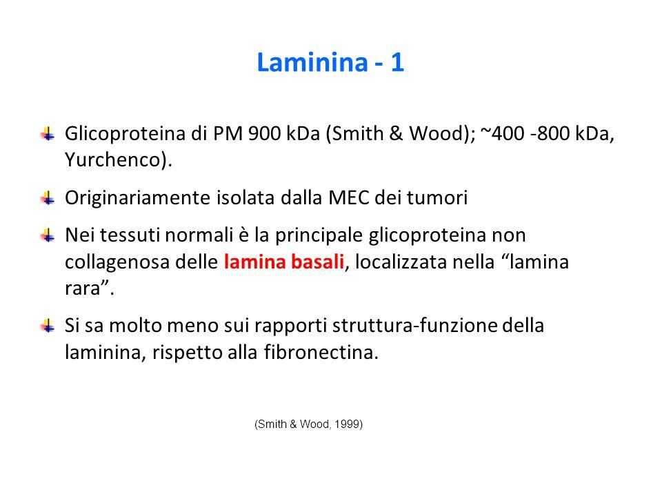 Laminina - 1 Glicoproteina di PM 900 kDa (Smith & Wood); ~400 -800 kDa, Yurchenco). Originariamente isolata dalla MEC dei tumori.