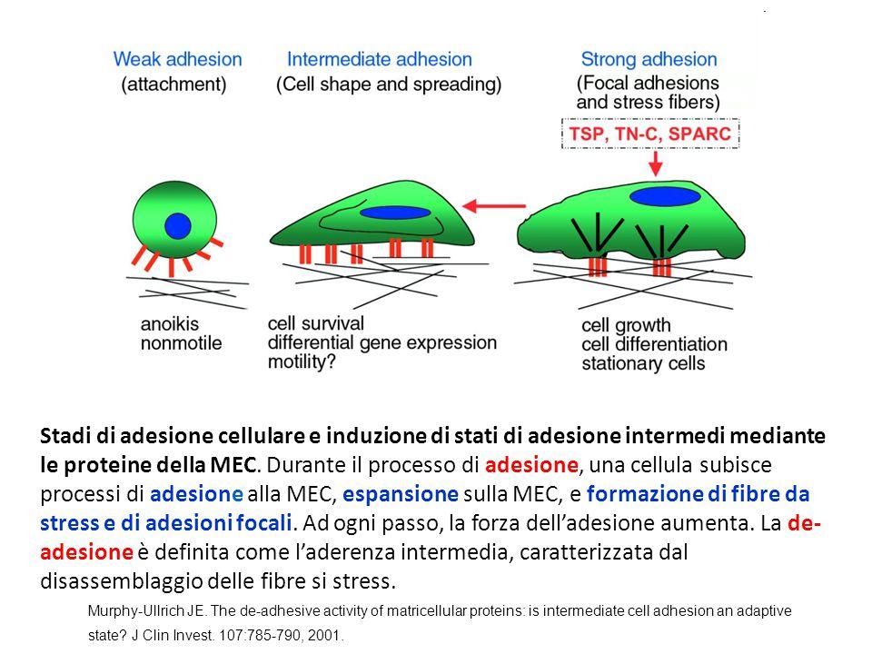 Stadi di adesione cellulare e induzione di stati di adesione intermedi mediante le proteine della MEC. Durante il processo di adesione, una cellula subisce processi di adesione alla MEC, espansione sulla MEC, e formazione di fibre da stress e di adesioni focali. Ad ogni passo, la forza dell'adesione aumenta. La de- adesione è definita come l'aderenza intermedia, caratterizzata dal disassemblaggio delle fibre si stress.