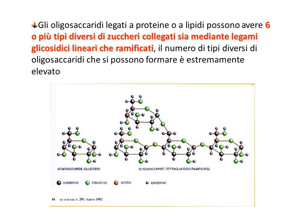 Gli oligosaccaridi legati a proteine o a lipidi possono avere 6 o più tipi diversi di zuccheri collegati sia mediante legami glicosidici lineari che ramificati, il numero di tipi diversi di oligosaccaridi che si possono formare è estremamente elevato