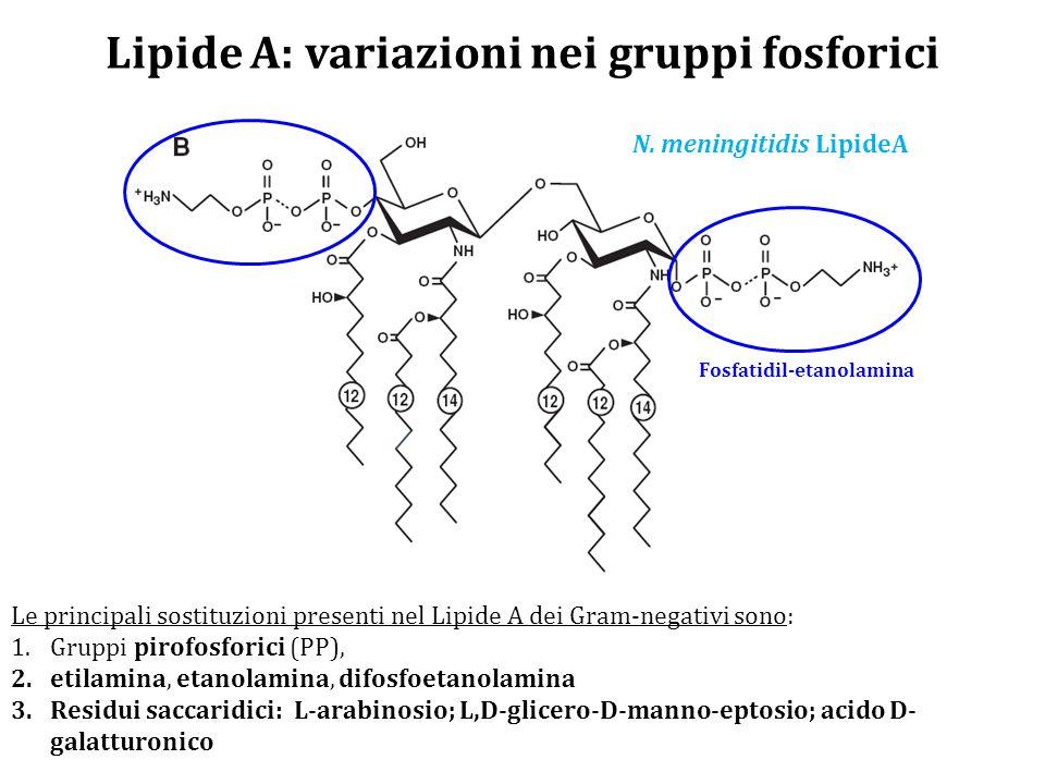 Lipide A: variazioni nei gruppi fosforici