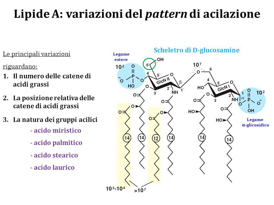 Lipide A: variazioni del pattern di acilazione