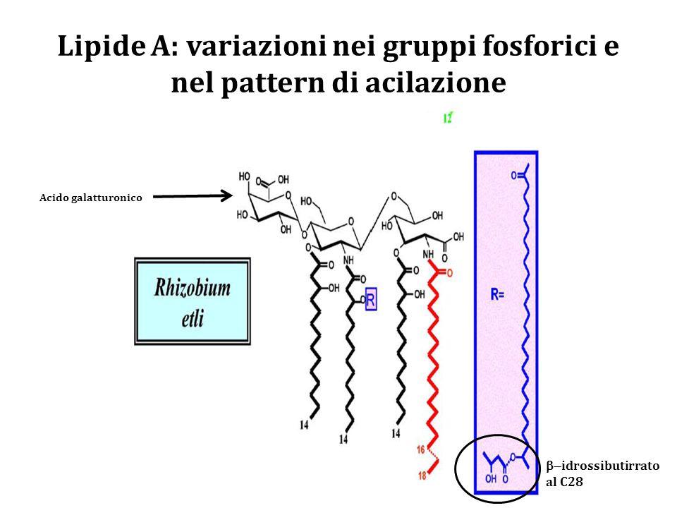 Lipide A: variazioni nei gruppi fosforici e nel pattern di acilazione