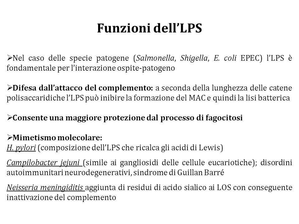 Funzioni dell'LPS Nel caso delle specie patogene (Salmonella, Shigella, E. coli EPEC) l'LPS è fondamentale per l'interazione ospite-patogeno.