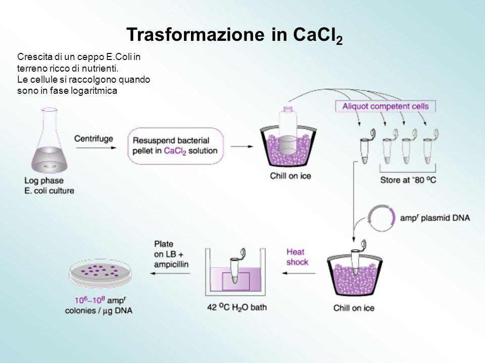 Trasformazione in CaCl2