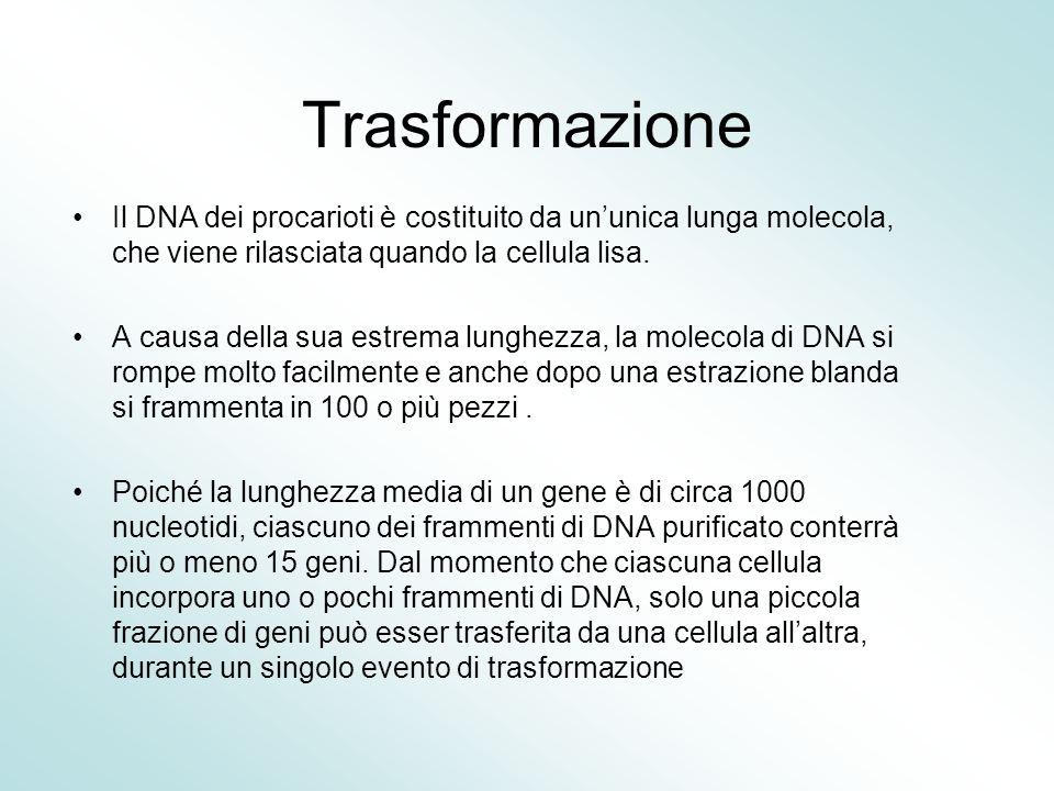 Trasformazione Il DNA dei procarioti è costituito da un'unica lunga molecola, che viene rilasciata quando la cellula lisa.