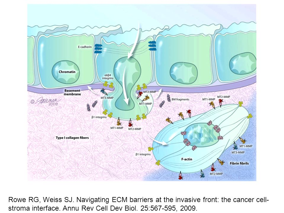 Rowe RG, Weiss SJ. Navigating ECM barriers at the invasive front: the cancer cell-stroma interface.