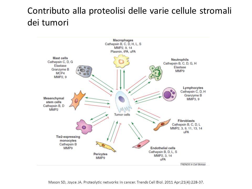 Contributo alla proteolisi delle varie cellule stromali dei tumori