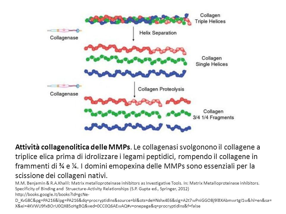 Attività collagenolitica delle MMPs