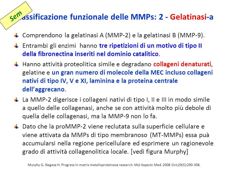 Classificazione funzionale delle MMPs: 2 - Gelatinasi-a
