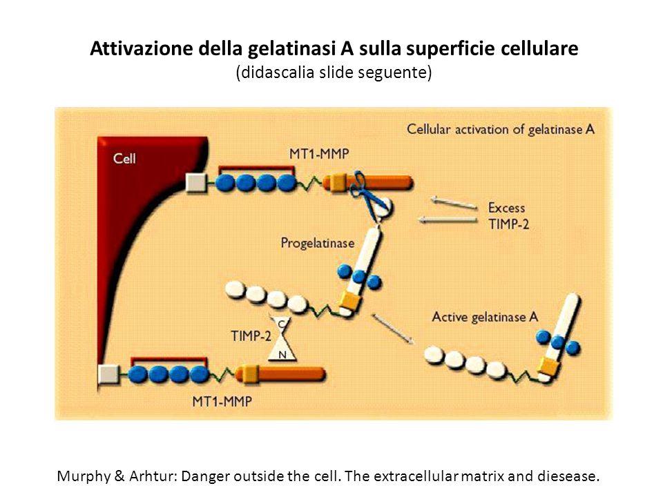 Attivazione della gelatinasi A sulla superficie cellulare (didascalia slide seguente)