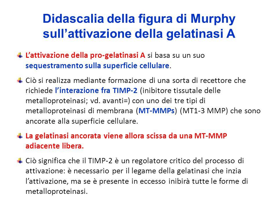 Didascalia della figura di Murphy sull'attivazione della gelatinasi A