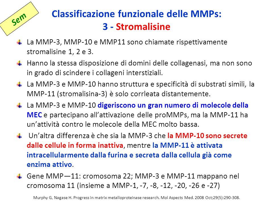 Classificazione funzionale delle MMPs: 3 - Stromalisine